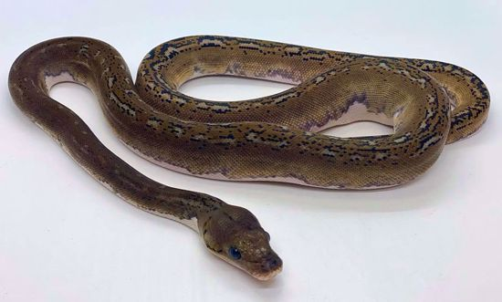 Picture of Pied Male